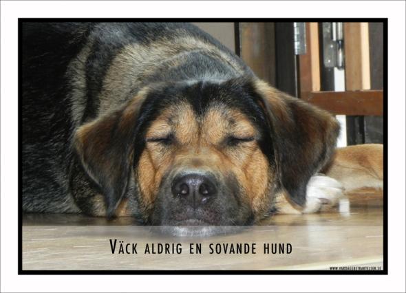 väck inte en hund